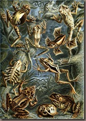 Ernst_Haeckel_-_Frogs_-_Batrachia